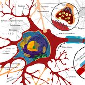 Neurona Biológica