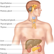 Chapter 10: Endocrine System
