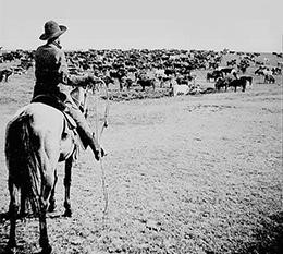 Cattle drives were an integral part of western expansion. Cowboys worked long hours in the saddle, driving hardy longhorns to railroad towns where they were loaded onto trains and shipped east.
