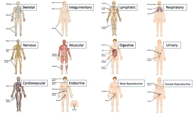 11 Human Organ Systems