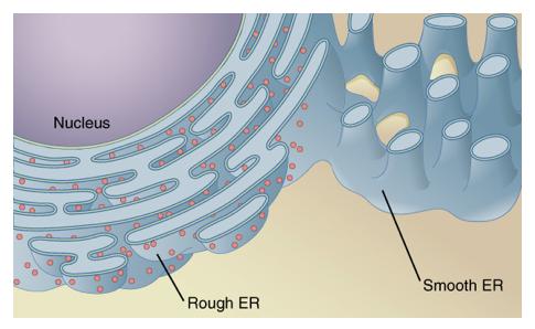 File:7220-Endoplasmic_Reticulum.png