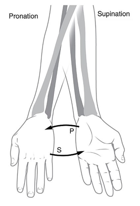 File:7281-PronationSupination.png