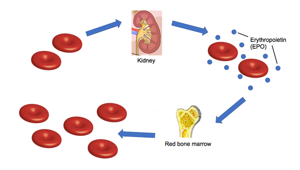 File:7357-Erythropoietin.png