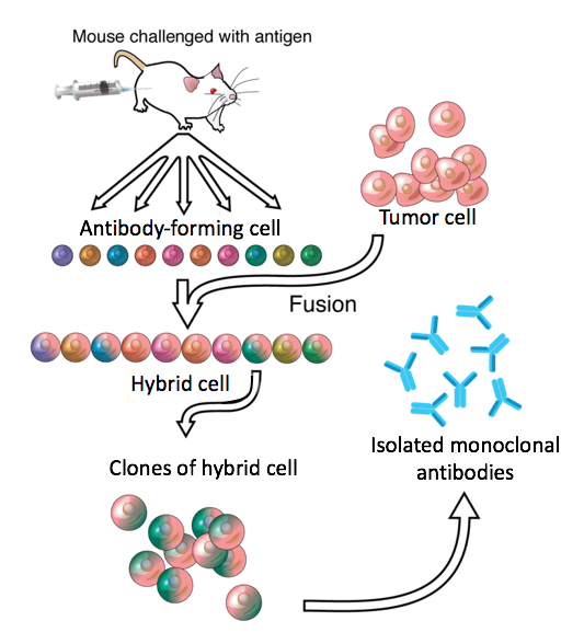 File:7374-Monoclonal_antibodies.png