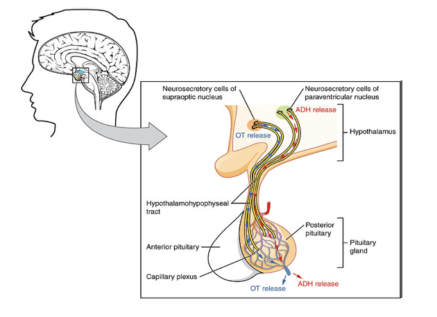 File:7393-Pituitary_Lobe.png