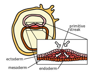 File:7436-Germ_Layers.png