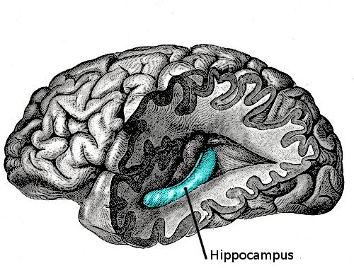 File:7442-hippocampus.png