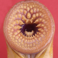 Lamprey Dissection