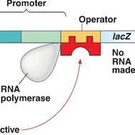 Lac and Trp Operons - Gene Regulation