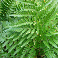 Plant Kingdom: Ferns