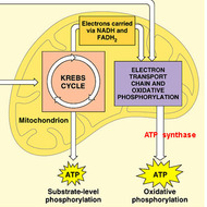 Unit 4: Cellular Respiration