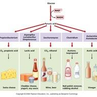 Unit 4: Anaerobic Respiration, Aerobic Respiration, Fermentation