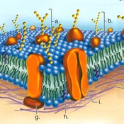 Unit 3: Movement Throught the Cell Membrane