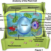 Unit 3: Plant Cell Structures and their Functions