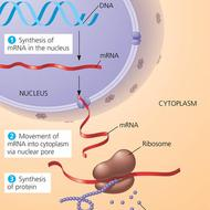 Unit 5: Protein and RNA Synthesis
