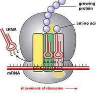 Unit 5: Ribosomes and Protein Synthesis