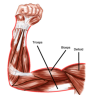 chapter 7: energy requirements and skeletal muscle anatomy, Muscles