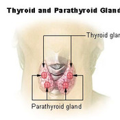 Gross Anatomy of the Thyroid Gland