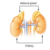 The Adrenal Glands Introduction