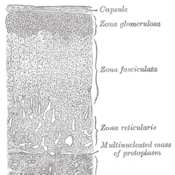 The Adrenal Cortex