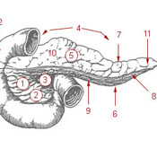 Pancreas Introduction