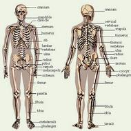 The Skeletal System: Unit 4