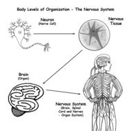 Nervous System - Cole
