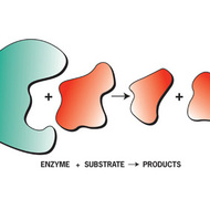 Enzymes and Energy