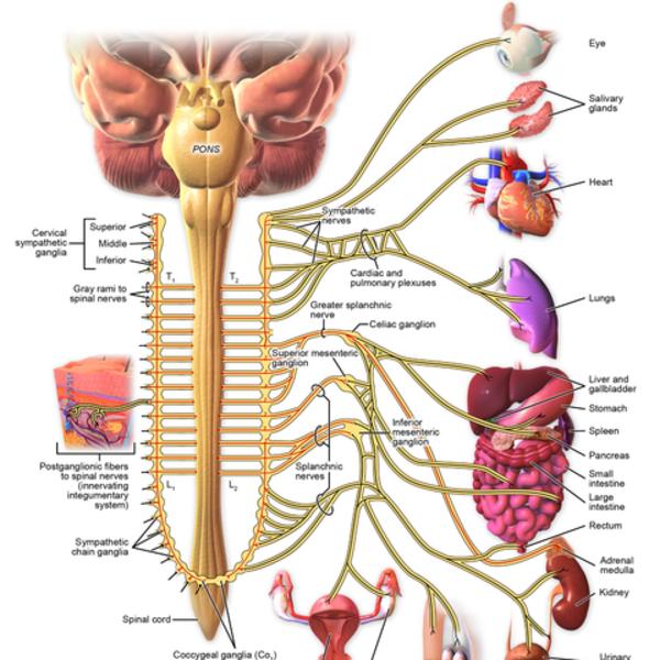 The Autonomic Nervous System Overview