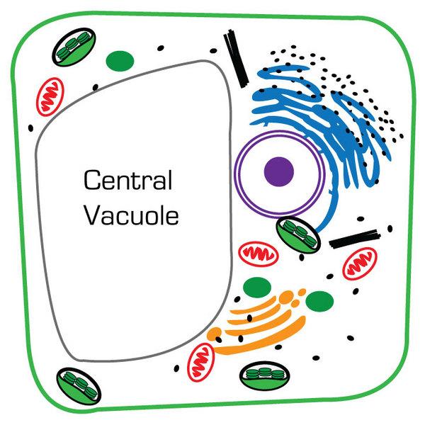 Central Vacuole