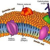 Plasma (cell) membrane