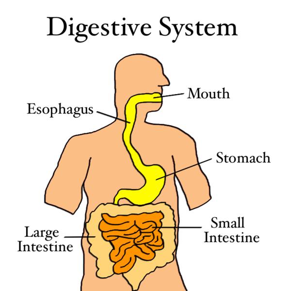 Animals: Human Digestive System