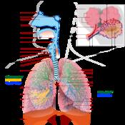 Animals: Human Respiratory System