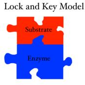 Lock and Key Model