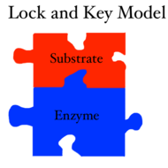 Lock and Key Model