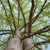 Plant Kingdom: Gymnosperms