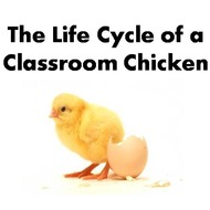 Life Stages of Classroom Chicken