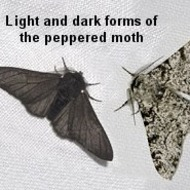 Peppered Moths Mini Lab