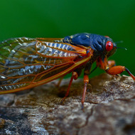The Magic Cicada