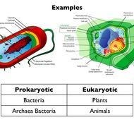 Eukaryotic vs. Prokaryotic Cells