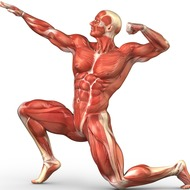 Muscular System - Cole