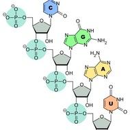 Types of RNA