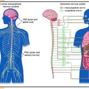 AP Psychology Unit III - Biological Bases of Behavior