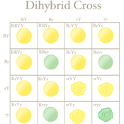 Dihybrid Cross Tutorials, Quizzes, and Help | Sophia Learning