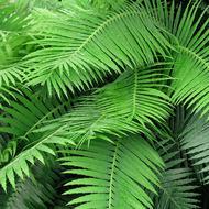 Plant Kingdom: Ferns