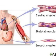 Muscular System 2015