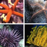 Phylum Echinodermata: Sea Stars, Urchins, Sea Cucumbers and More