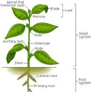 17.1 Plant Structure and Function