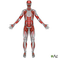 Muscular System Power Point and Graphic Organizer