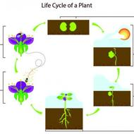Life Cyle of a flowering Plant